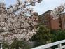 静岡県立大学の桜.JPG