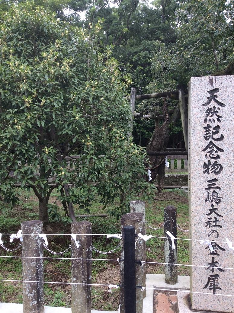 三島大社のキンモクセイ